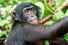 Bonobo (from USAID)