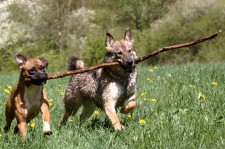 Dogs carrying stick (from Slick)