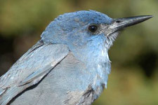 Pinyon jay (from USNPS)